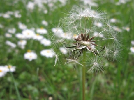 flower, grass, dandelion, flora, summer, nature, outdoor, plant