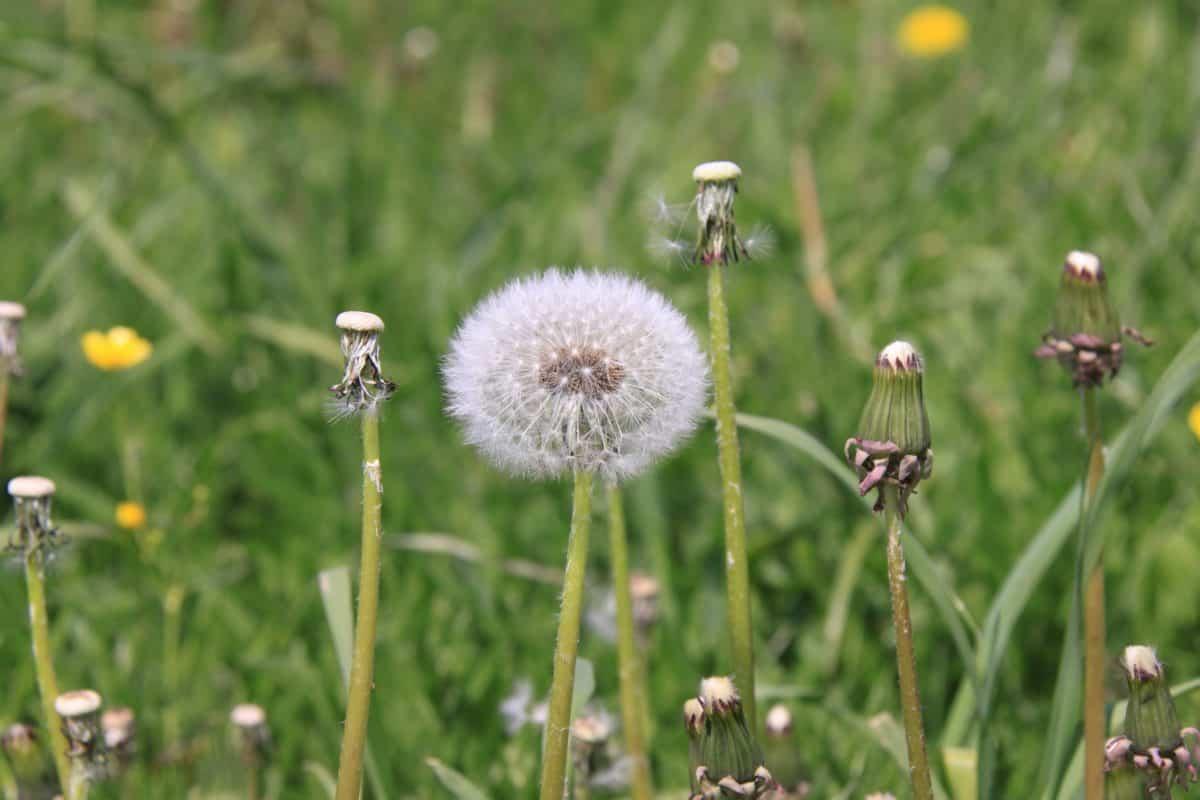 field, nature, summer, flower, grass, dandelion, herb, plant