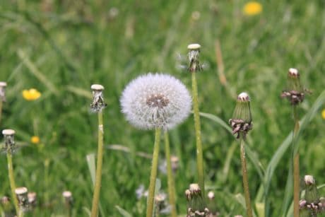 field, nature, summer, flower, grass, dandelion, herb, plant