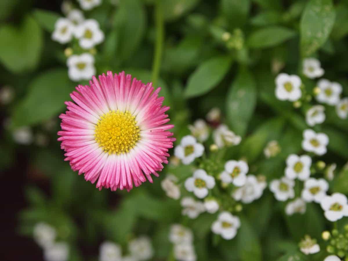 květina, příroda, flora, léto, bylina, rostlina, sedmikráska, květ