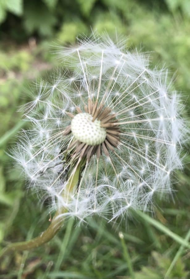 grass, flora, flower, dandelion, summer, seed, nature, herb