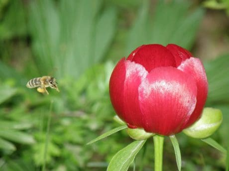 peony flower, leaf, summer, nature, insect, bee, red flower, garden, flora