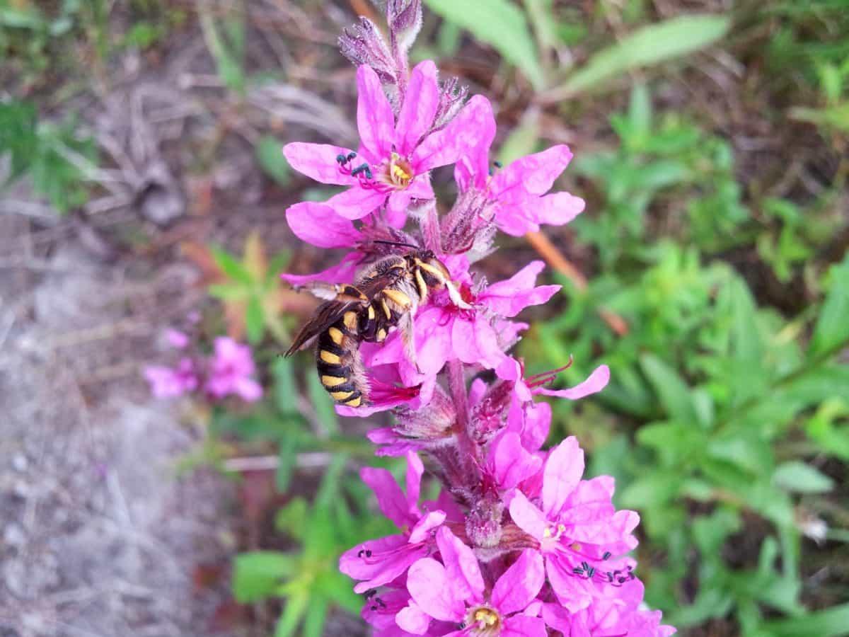 eildflower taman musim panas, daun, alam, flora, ramuan, tanaman