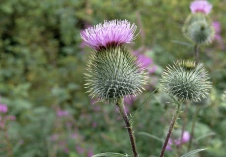 flora, thistle, outdpoor, nature, flower, leaf, summer, herb, plant, vegetable