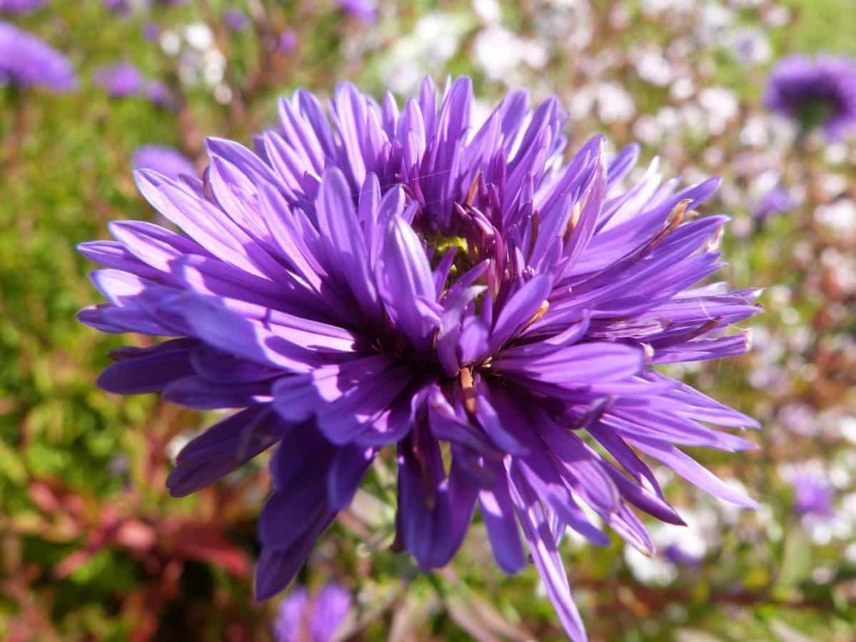bunga liar, makro, Taman, flora, daun, alam, ungu, musim panas, kelopak