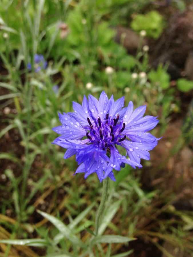 summer, leaf, petal, nature, garden, flower, flora, chicory