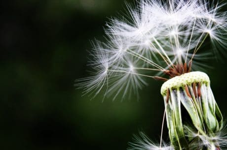 wind, macro, summer, flora, nature, dandelion, herb