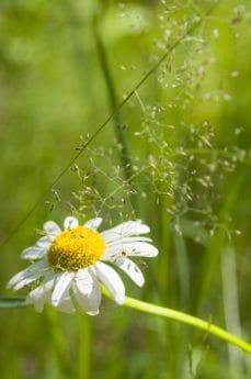 Flora, estate, erba verde, foglia, giardino, natura, erba, wildflower