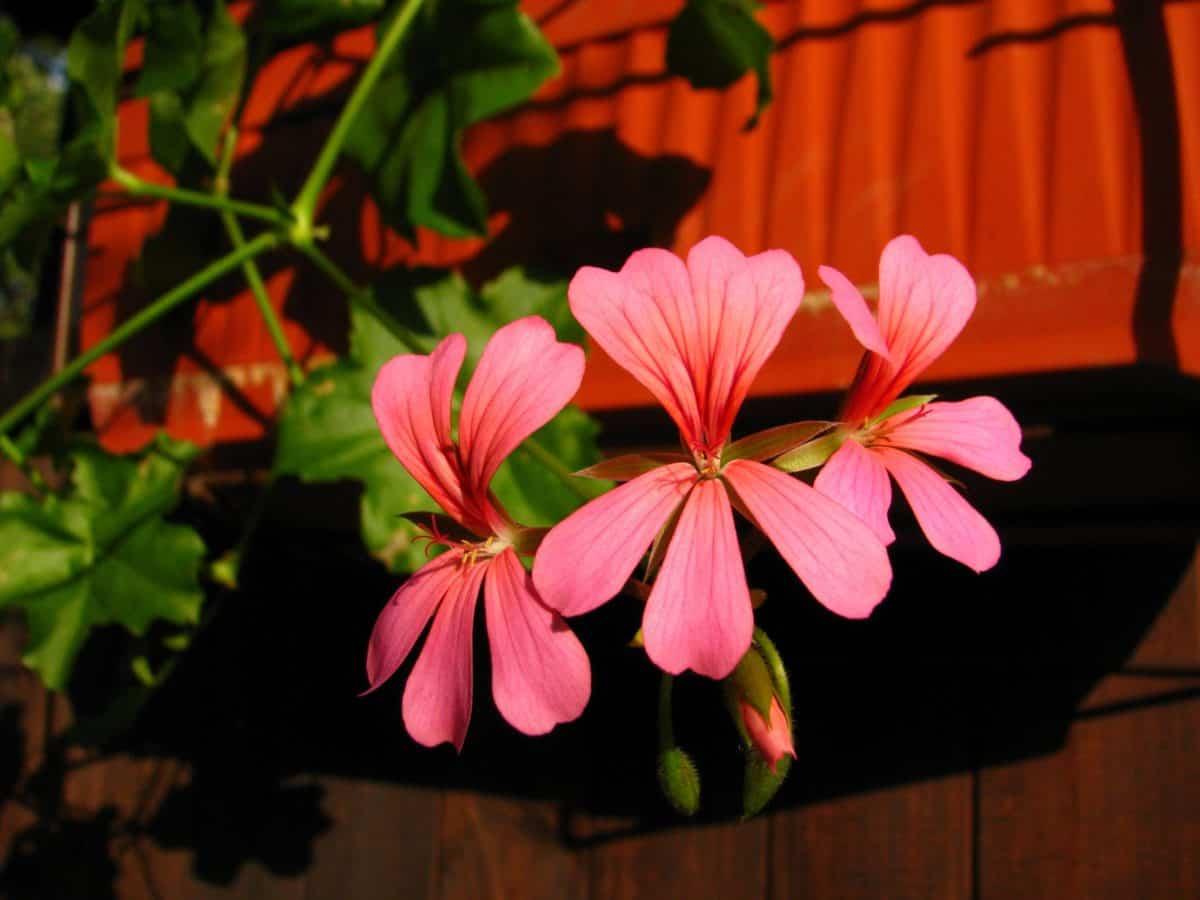 Flora, červený kvet, príroda, bylina, pelargónie, rastlín, wildflower, kvet