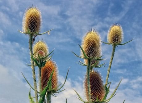 flower, thistle, sharp, summer, flora, nature, herb, blue sky, macro