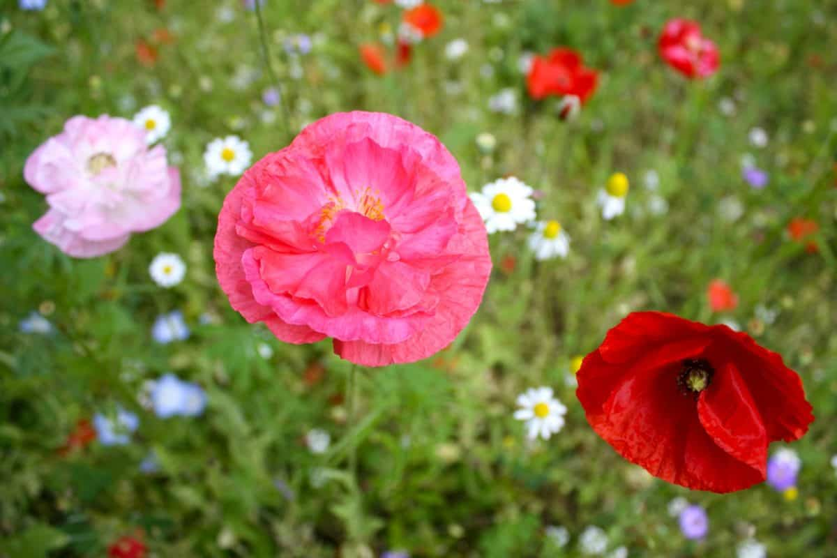 rumput, opium poppy, Taman, musim panas, bunga liar, Lapangan, flora, alam