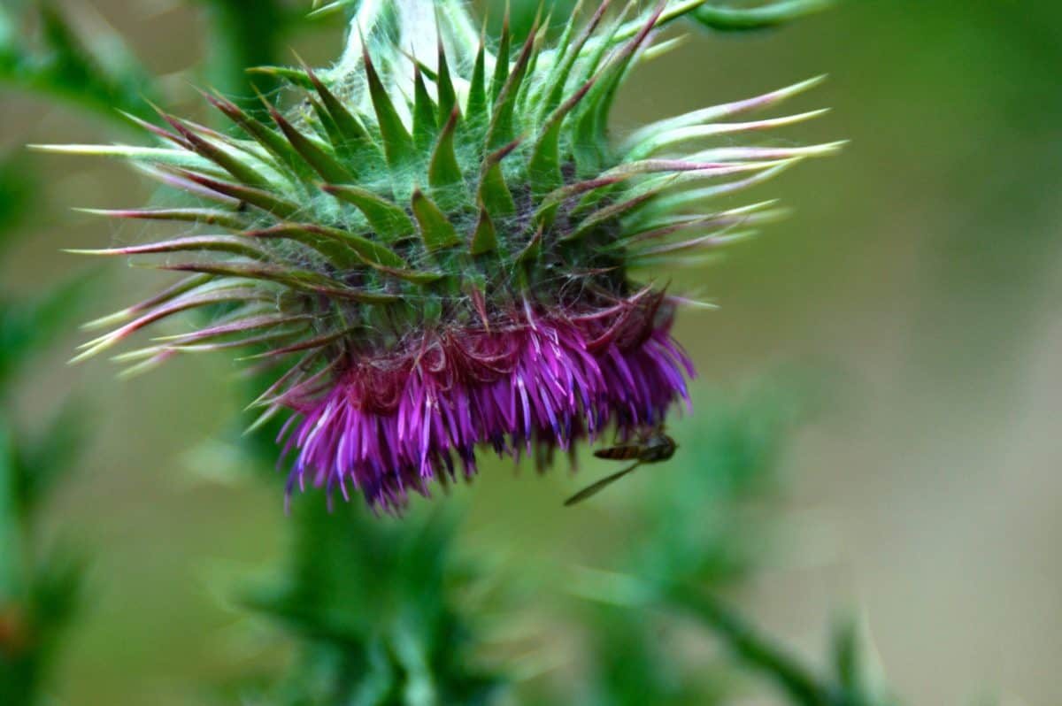 nature, leaf, flora, plant, herb, flower, thistle