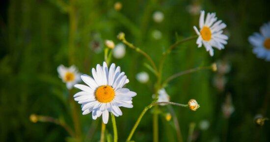 花、カモミール、庭、植物、自然、夏、ハーブ