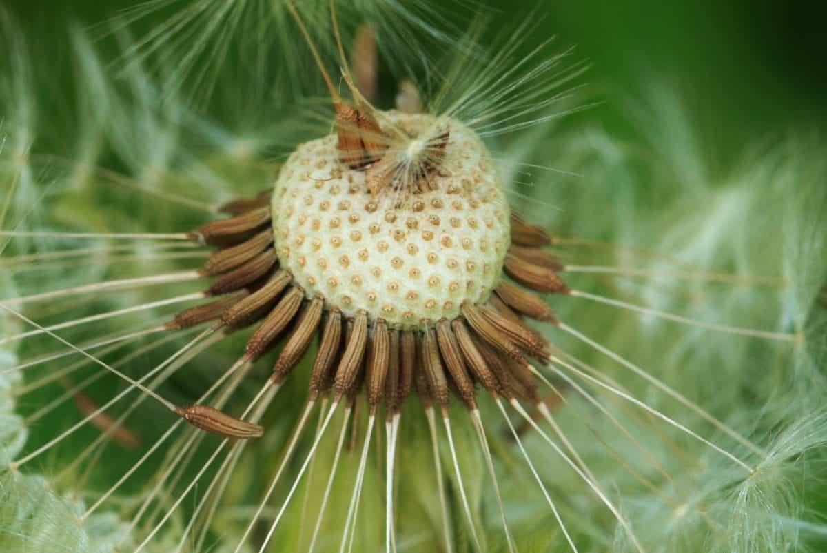 nature, macro, pissenlit, herbe, détail