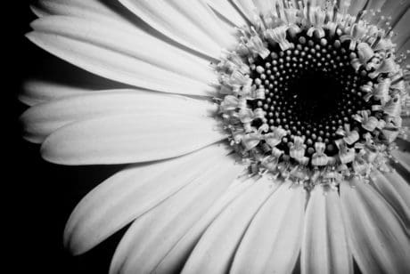 flower, petal, flora, beautiful, nature, monochrome, daisy, garden, blossom