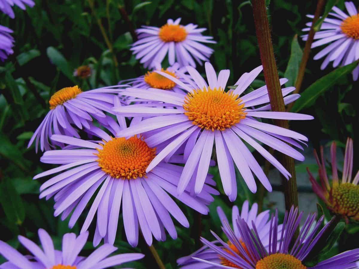 hage, natur, kronblad, flora, blomst, sommer, dagslys, utendørs, makro, plante