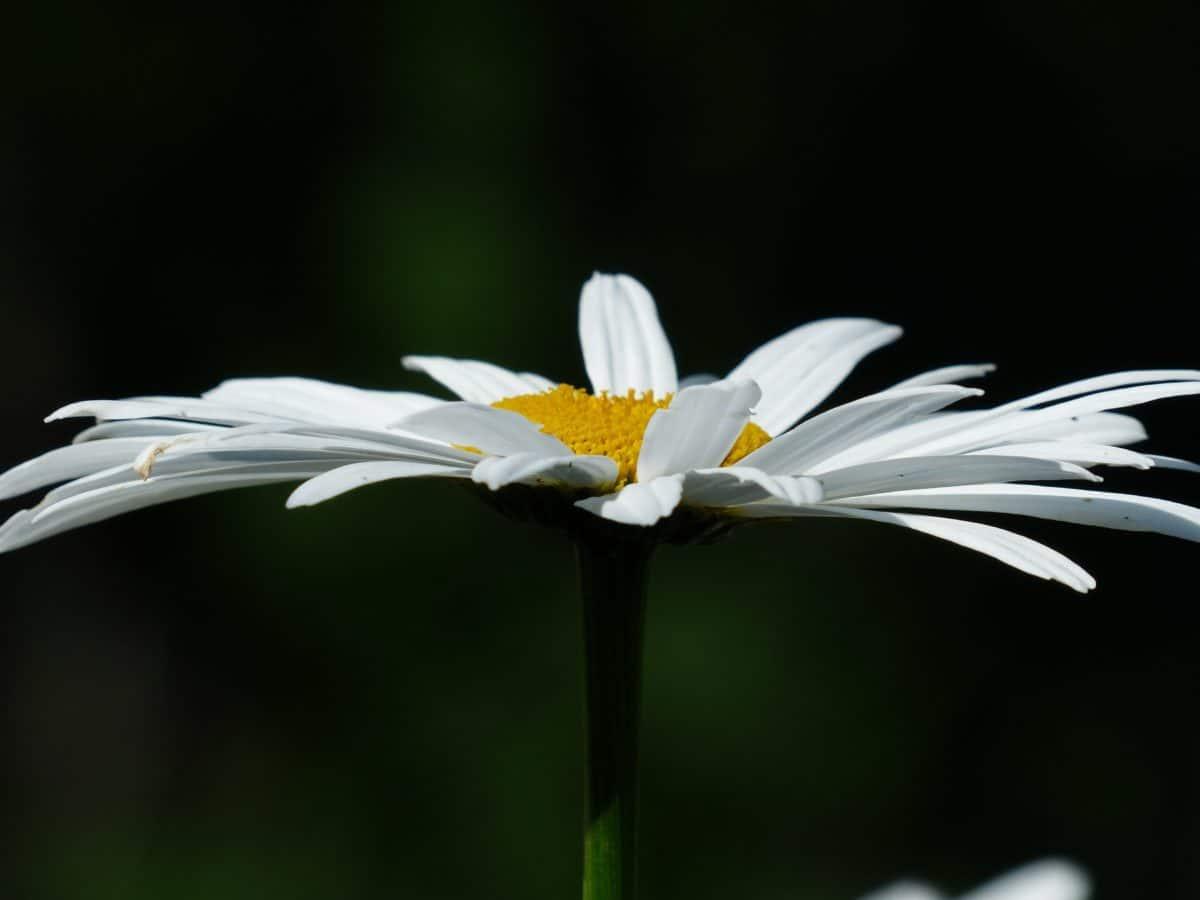 Natur, Blatt, Blume, Makro, Detail, Daisy, Pflanze, Blüte, Garten, Wiese