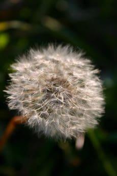 sifat, bunga, flora, musim panas, benih, dandelion, ramuan, tanaman