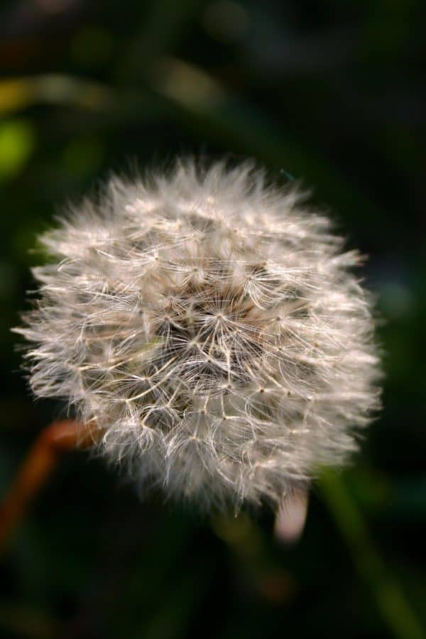 nature, flower, flora, summer, seed, dandelion, herb, plant