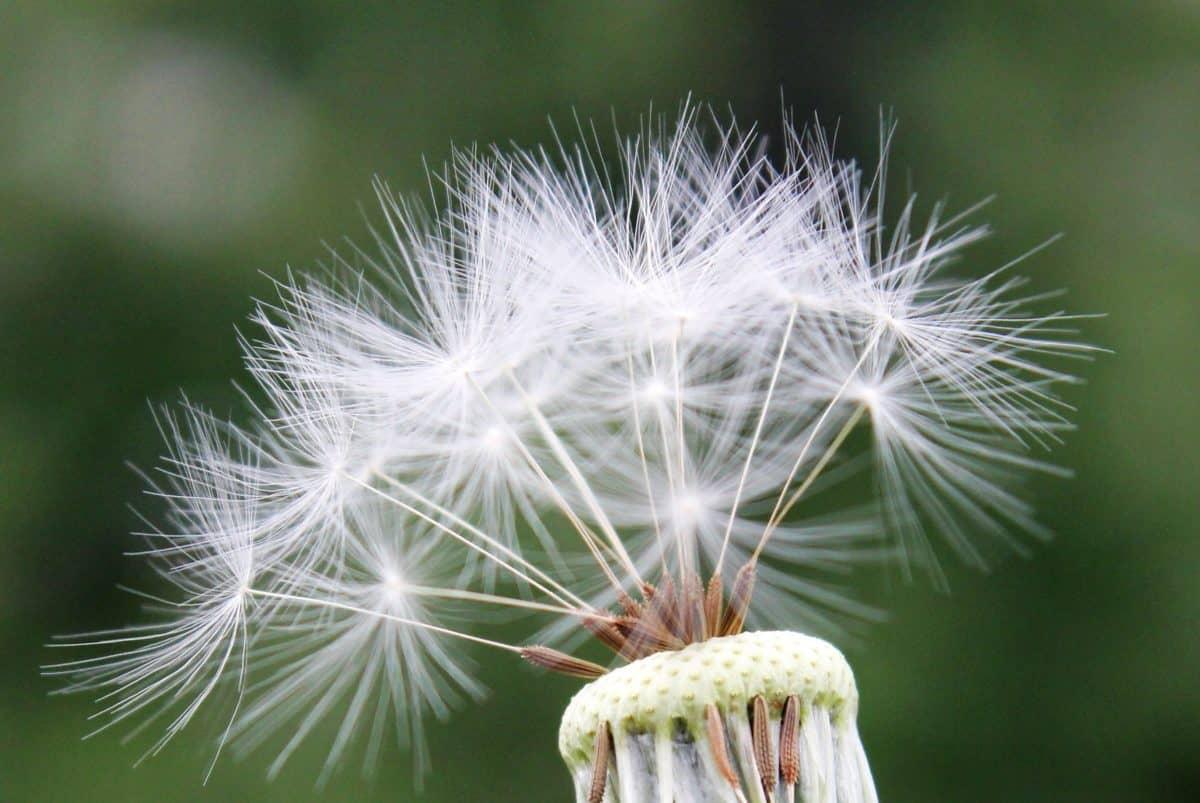 Flora, pitypang, szél, makró, vadvirág, vetőmag, természet, nyári, növény, növény