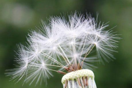 flora, dandelion, wind, macro, wildflower, seed, nature, summer, herb, plant