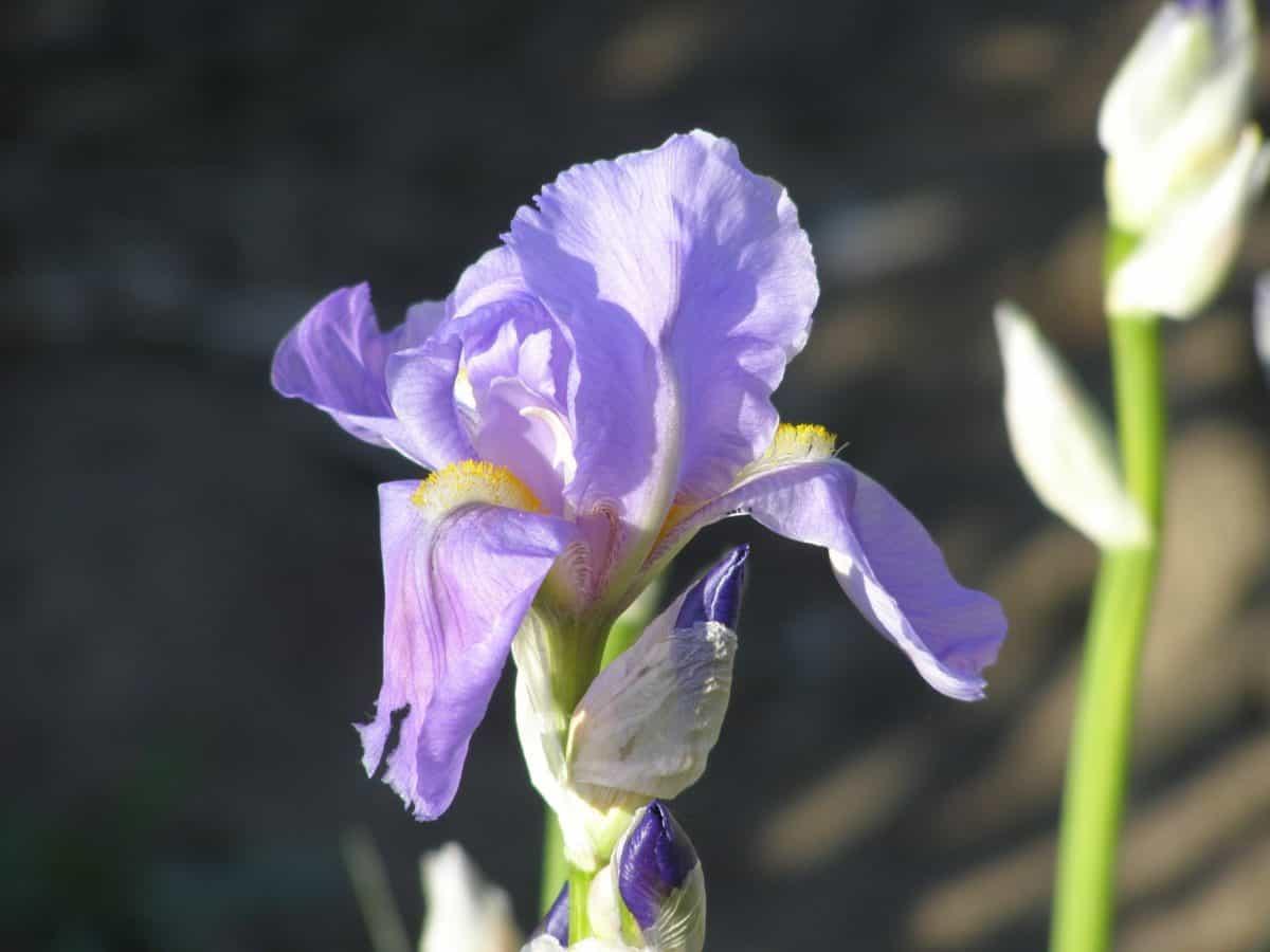 latica, list, flore, cvijet, prirodu, iris, biljka, vrt, cvijet