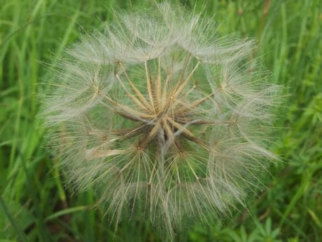 dandelion, flora, nature, summer, green grass, wildflower, macro, seed, plant