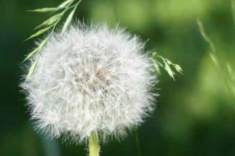 növény, virág, fű, vetőmag, természet, nyári, pitypang, növény