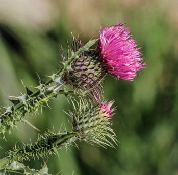 spike, thistle, macro, wildflower, flora, sharp, summer, nature, garden