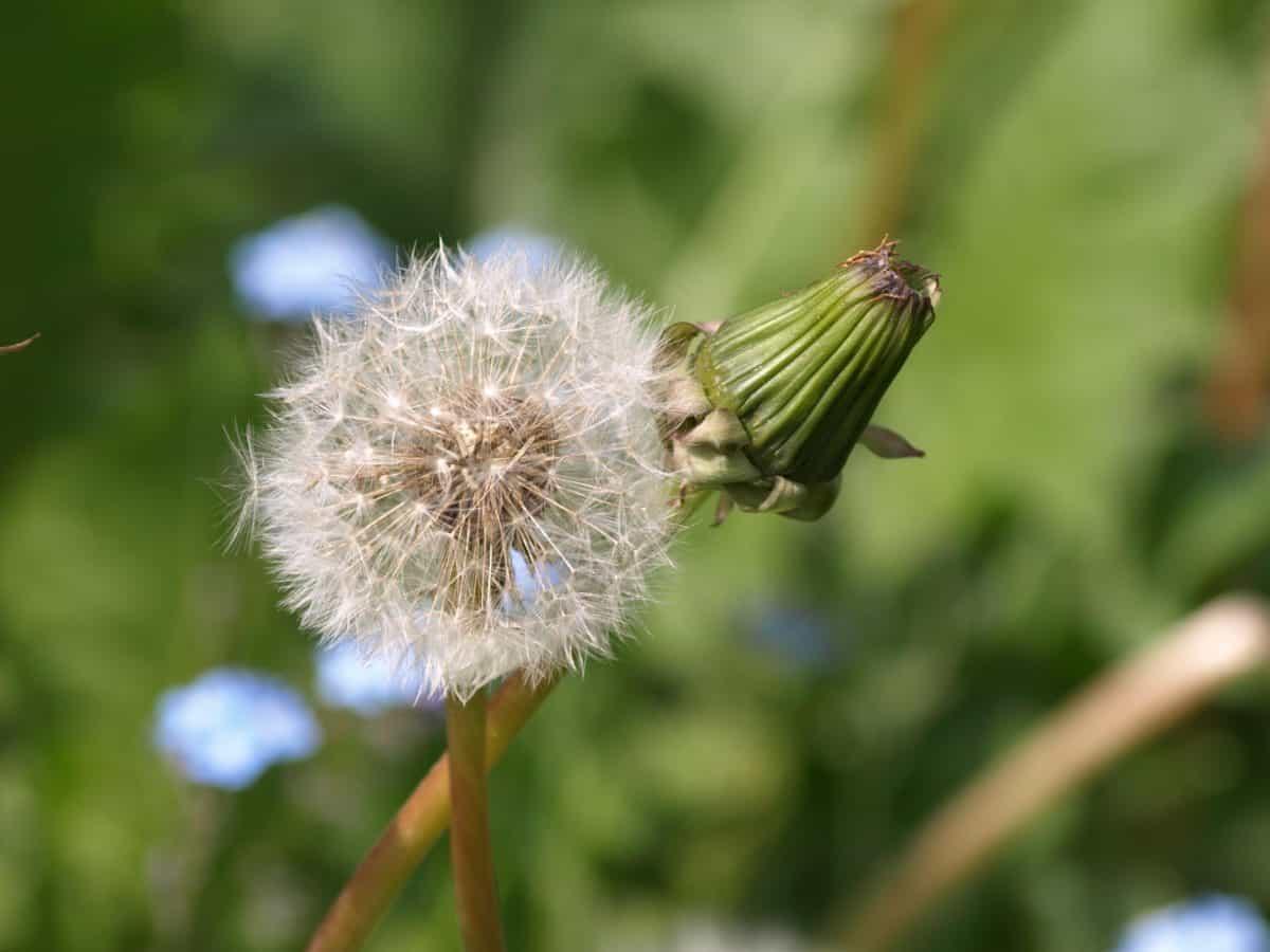 flower, summer, flora, nature, herb, plant, dandelion, blossom