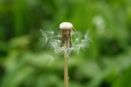 dandelion, grass, nature, wind, leaf, flora, summer, herb, plant