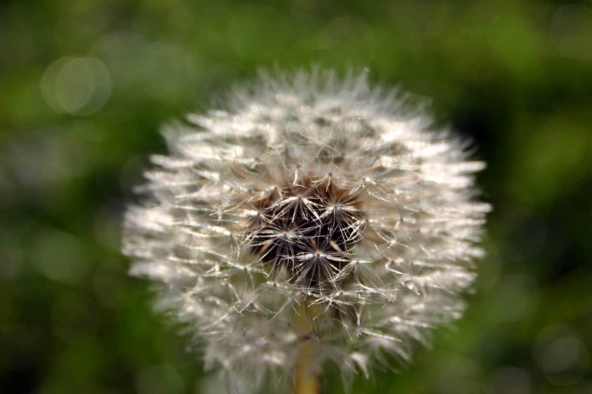 flora, nature, dandelion, seed, macro, detail, outdoor, wildflower, plant, herb