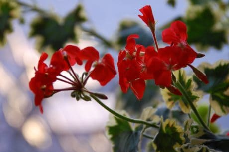 flower, garden, summer, leaf, flora, nature, geranium, herb