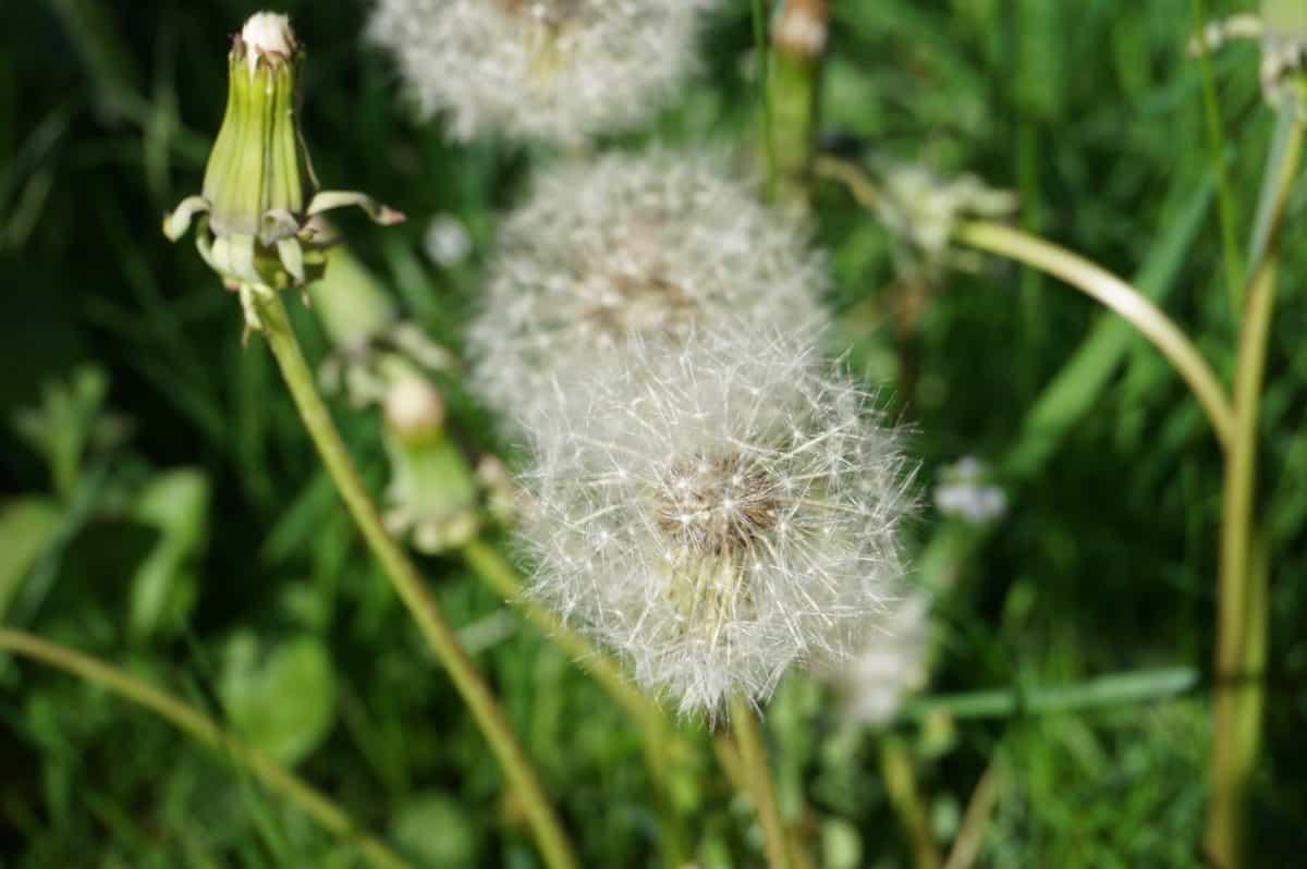 grass, flora, nature, flower, summer, dandelion, plant, herb