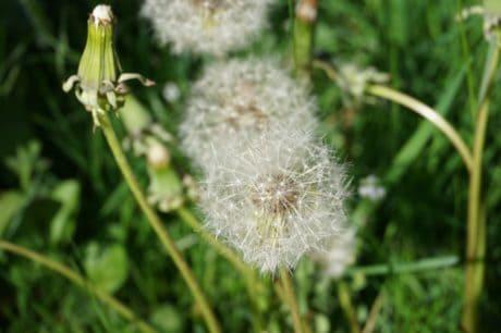 трева, флора, природа, цветя, лятото, глухарче, растение, билка