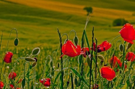 summer, opium poppy, flora, field, flower, nature, grass, garden