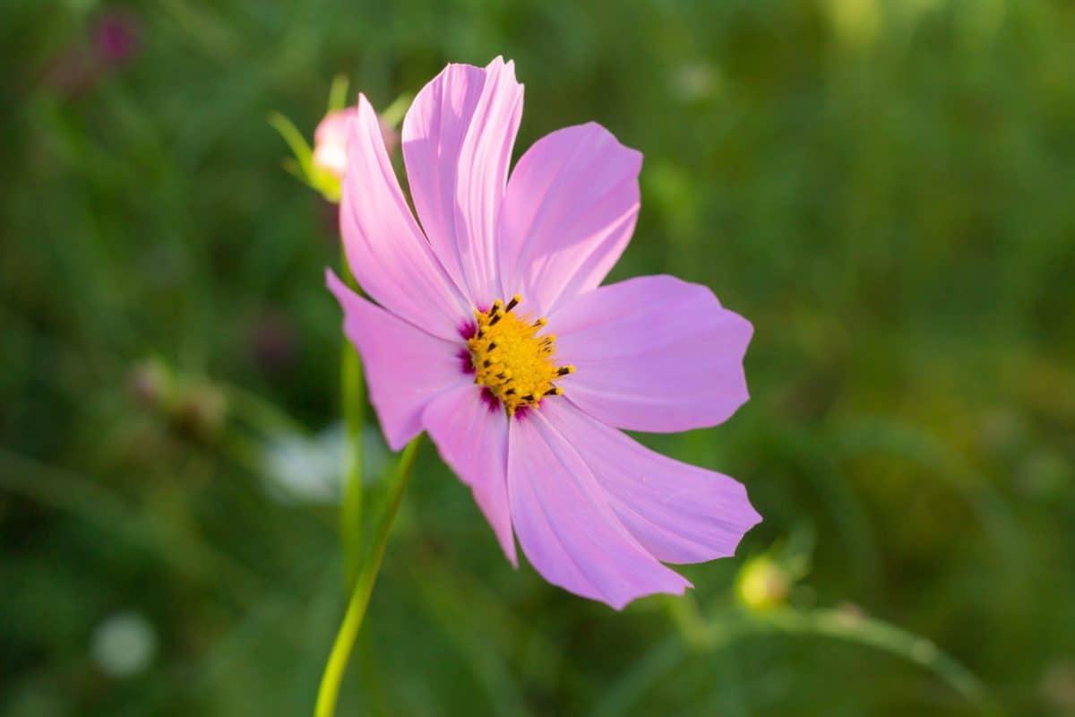 bloem, flora, Tuin, zomer, natuur, plant, roze, petal
