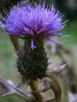flower, nature, wild, flora, garden, thistle, outdoor, herb