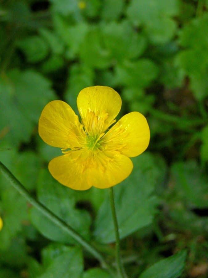 flower, garden, leaf, summer, flora, nature, herb, buttercup