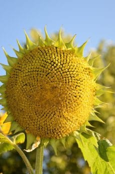 nature, flower, blue sky, outdoor, flora, summer, leaf, sunflower, plant, petal