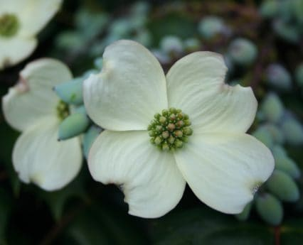 flora, dogwood, garden, flower, petal, nature, plant, flowers