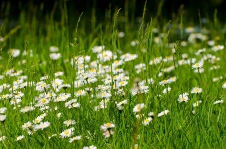 grama, flora, flor, Margarida, verão, natureza, gramado, campo, erva, planta