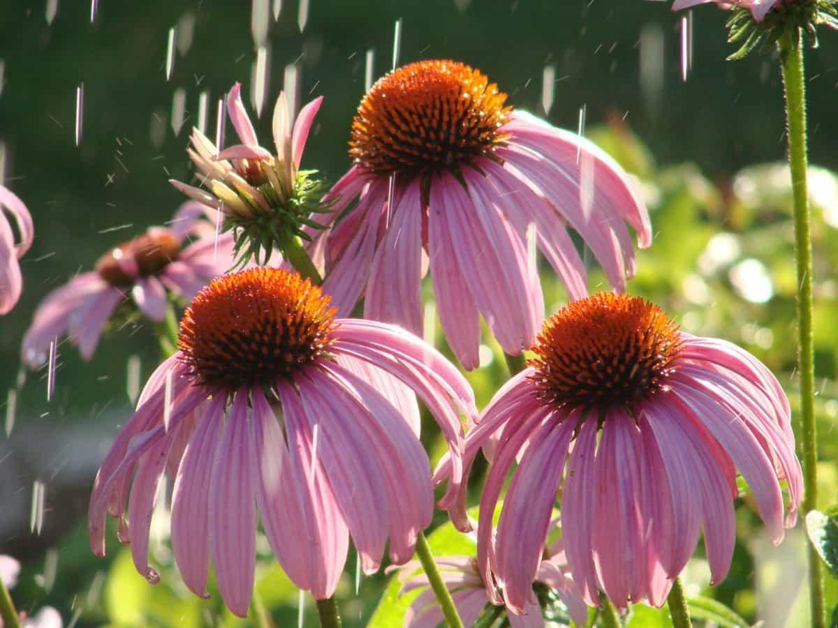 natura, flora, giardino, estate, fiore, foglia, macror, pianta