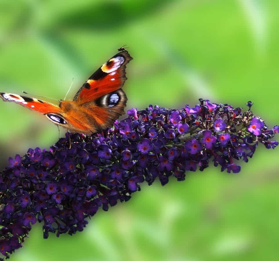 summer, insect, wildlife, flower, nature, garden, butterfly, outdoor
