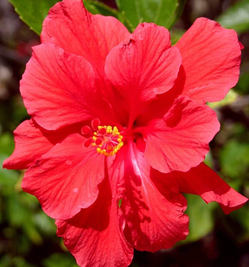 花瓣, 夏, 叶, 花园, 芙蓉, 微距, 花粉, 自然, 植物, 红花