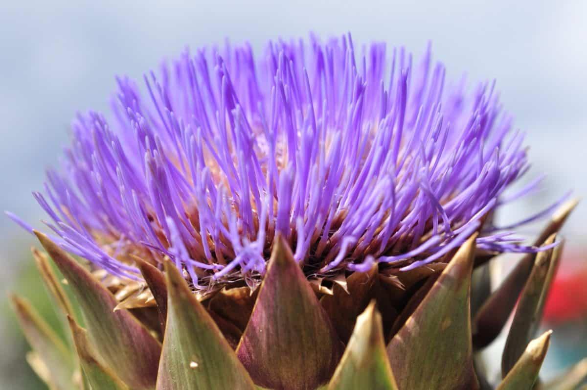 thistle, nature, summer, petal, flora, flower, garden, leaf