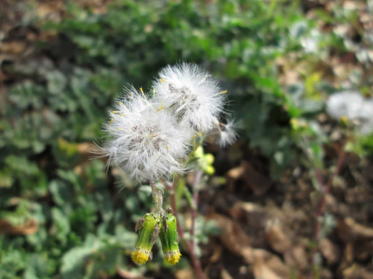 hoja, flor, flora, naturaleza, diente de León, naturaleza, verano, semillas,