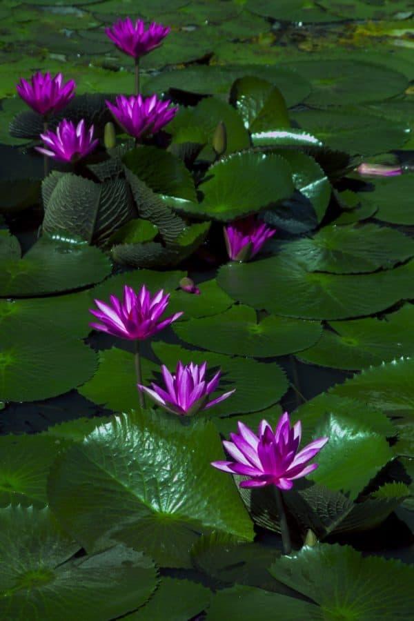 lirio, loto, jardín, flora, naturaleza, flor, hoja, nenúfar