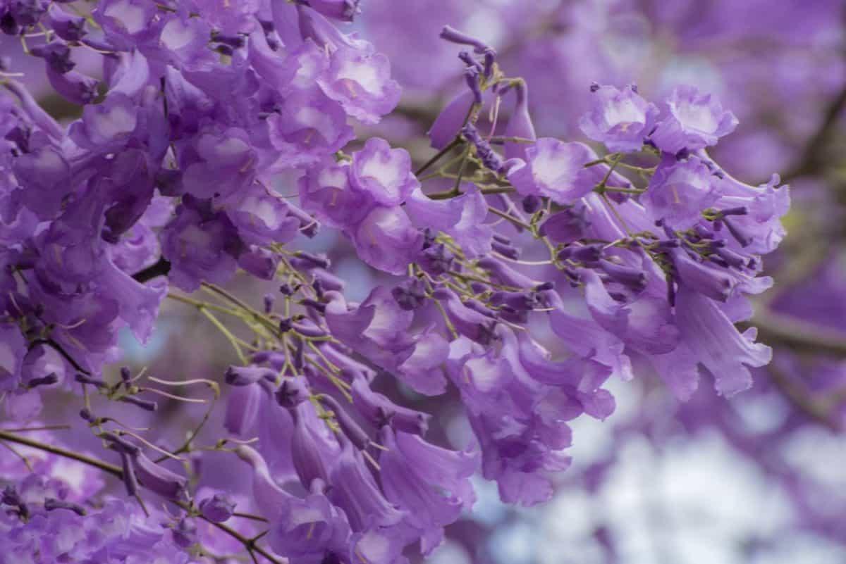 blad, blomst, natur, flora, haven, kronblad, lilla, blomster