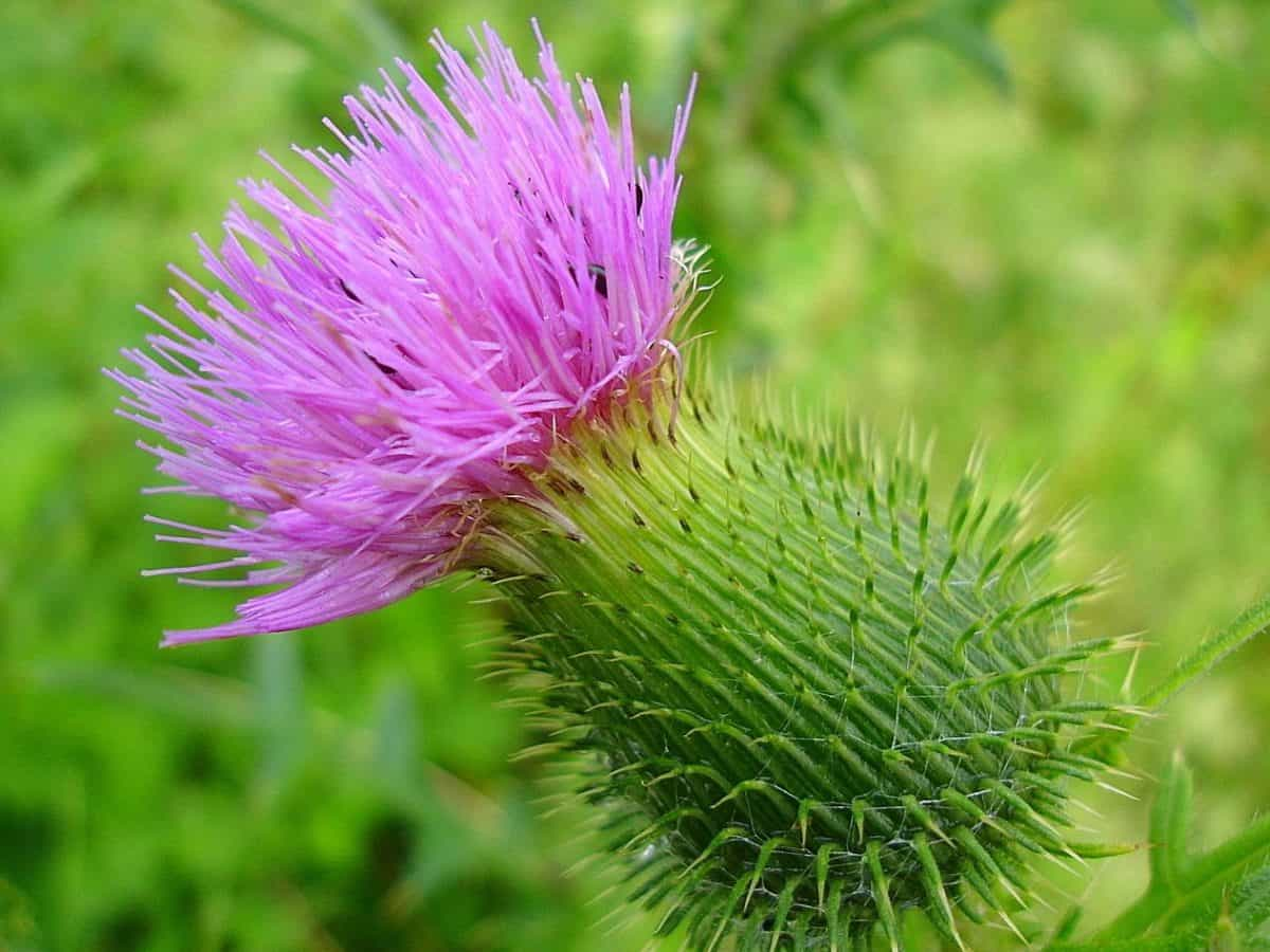 thistle, macro, summer, nature, flora, thorn, herb, plant, wildflower